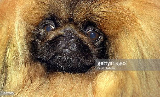 Pekingese dog Ch Yakee A Dangerous Liason poses after winning 'Best In Show' at Crufts dog show March 9 2003 in Birmingham United Kingdom This year's...