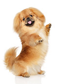 Pekingese dog posing on hind legs in front of white background