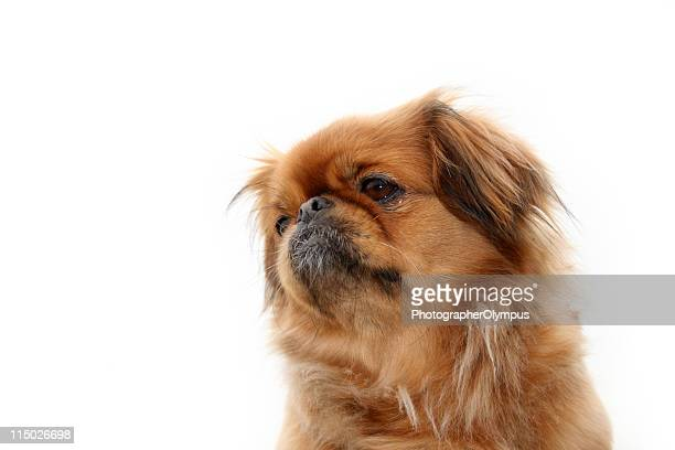 ペキニーズ犬