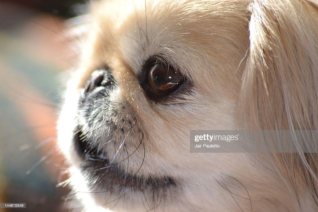 Pekingese dog : Stock Photo