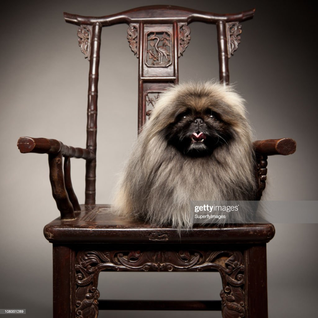 Pekingese Dog Sits on 19th Century Chair Like Royalty. : Stock Photo