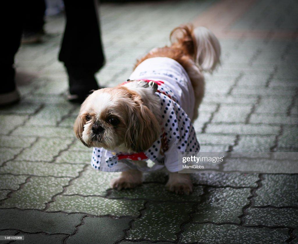 Pekingese dog wear Happi Kimono in Japan. : Stock Photo