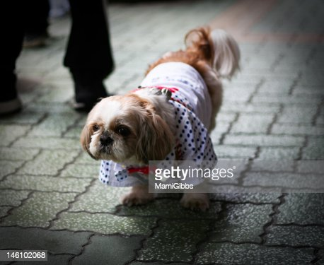 Pekingese dog wear Happi Kimono in Japan. : Stock Photo