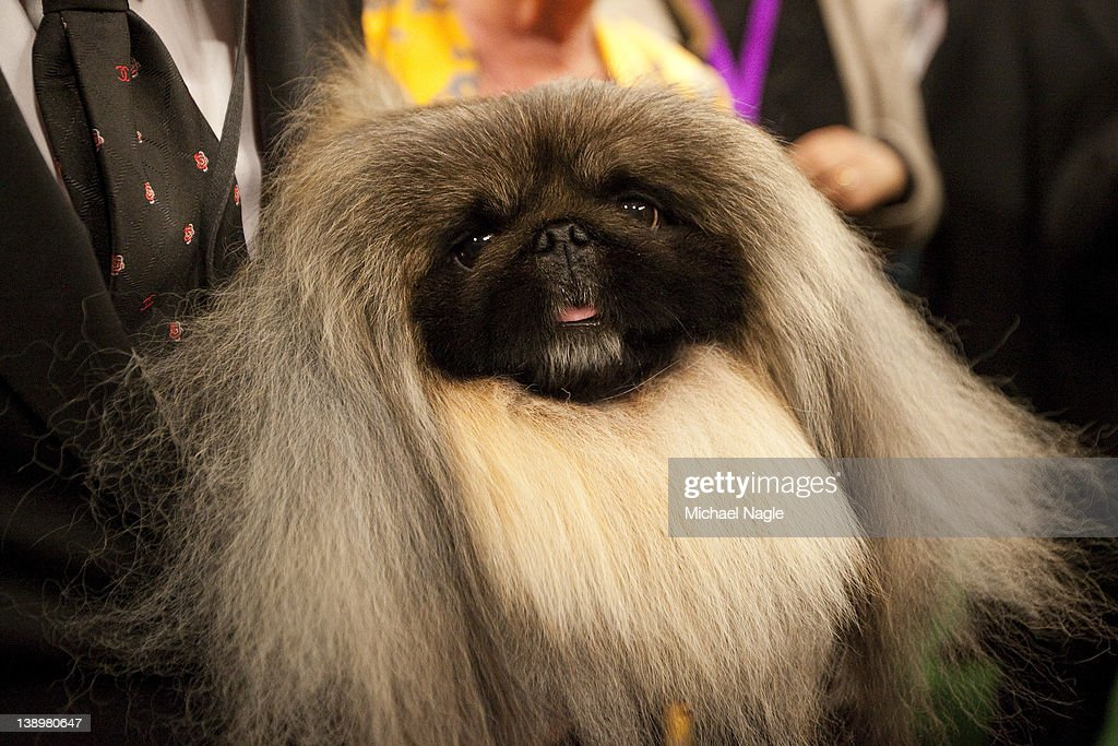 Pekingese Malachy poses for photographers after winning Best in Show at the Westminster Kennel Club Dog Show on February 14, 2012 in New York City. The Westminster Kennel Club Dog Show was first held in 1877, is the second-longest continuously held sporting event in the U.S., second only to the Kentucky Derby.
