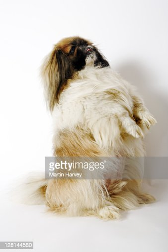 Pekingese / Pekinese. Ancient toy dog breed from China with long coarse coat. Popular as lap dogs. : Stock Photo