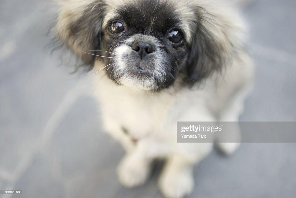 Pekingese puppy, close-up : Stock Photo