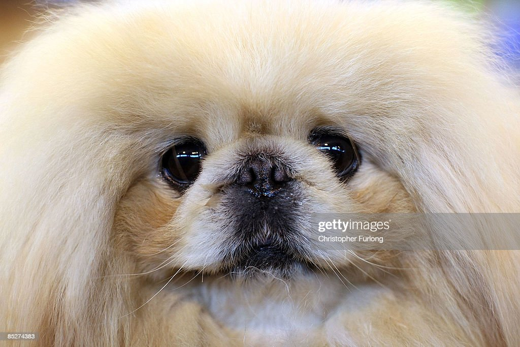 Pekingese waits for judging on day two of the annual Crufts dog show at the National Exhibition Centre on March 6 2009 in Birmingham England During...