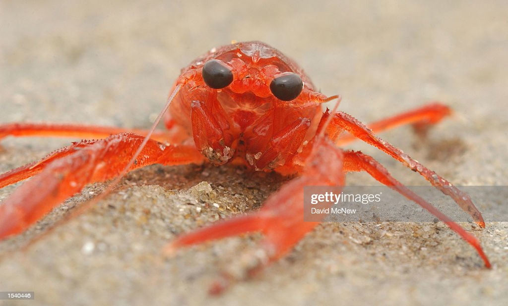 A pelagic red crab is one of many thousands that are washing ashore May 7 2002 in San Diego CA a phenomenon that provides more evidence that another...