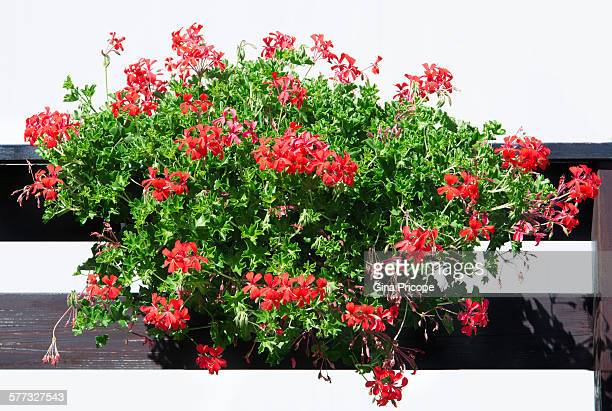 A pelargonium plant attached to the balcony, Italy