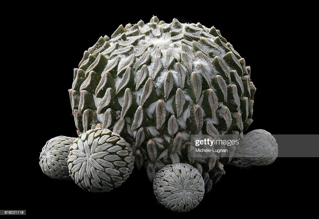 Pelecyphora with offsets : Stock Photo
