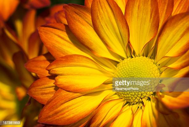 Pelee Chrysanthemum Mums - VII