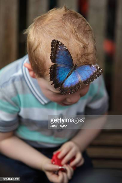 Peleides blue morpho butterfly lands on a boy's head at the Butterfly House at the Natural History Museum on March 30 2017 in London England The...
