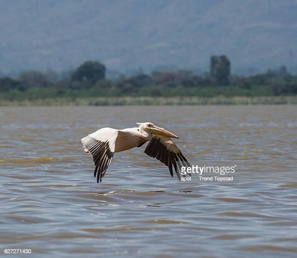 Pelican at Lake Chamo, Ethiopia.