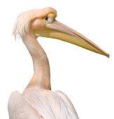Pelican bird close up