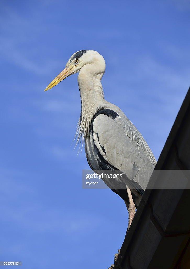 Pelican bird : Stock Photo