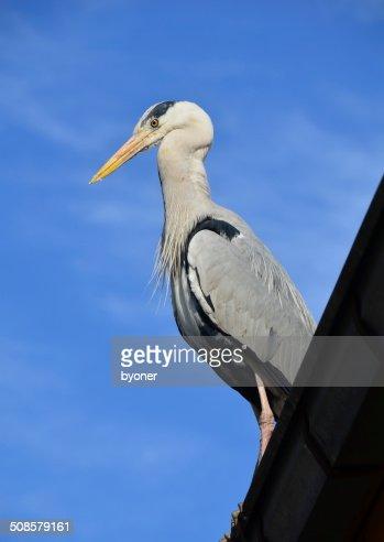 Pelican bird : Stock-Foto