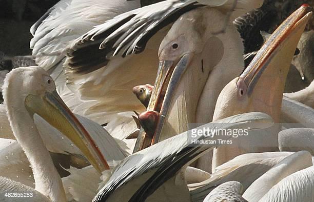 Pelican birds at Delhi Zoo on January 14 2014 in New Delhi India