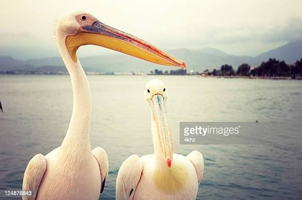 ペリカン鳥の海
