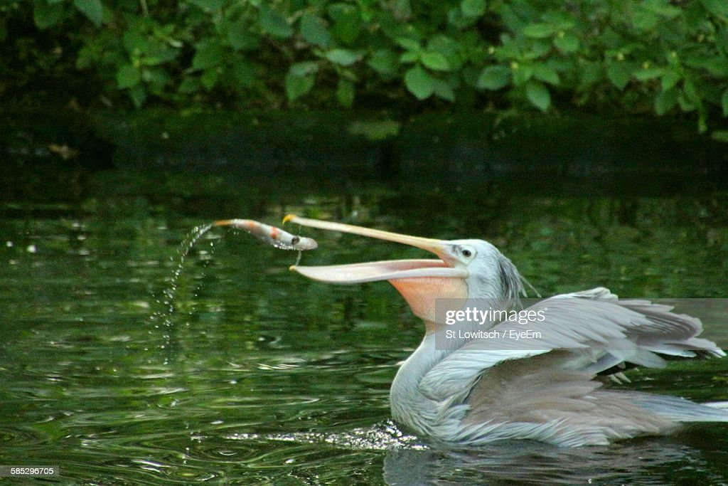 Pelican Catching Fish In Lake