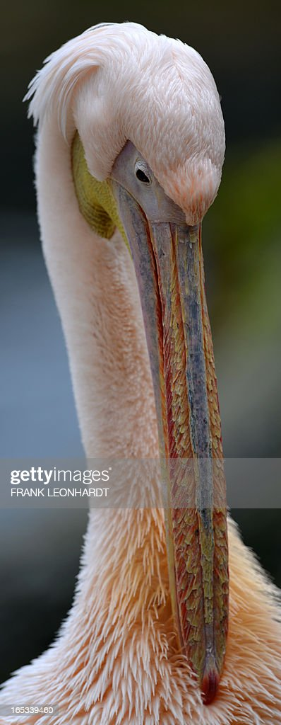 A pelican cleans its feathers at the Hellabrunn zoo in Munich, southern Germany on April 3, 2013. AFP PHOTO / FRANK LEONHARDT GERMANY OUT