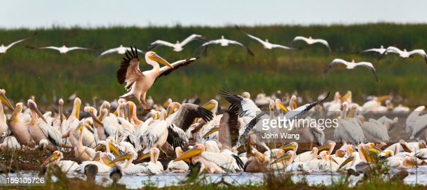 Pelican colony at Lake Manyara, Tanzania : Stockfoto