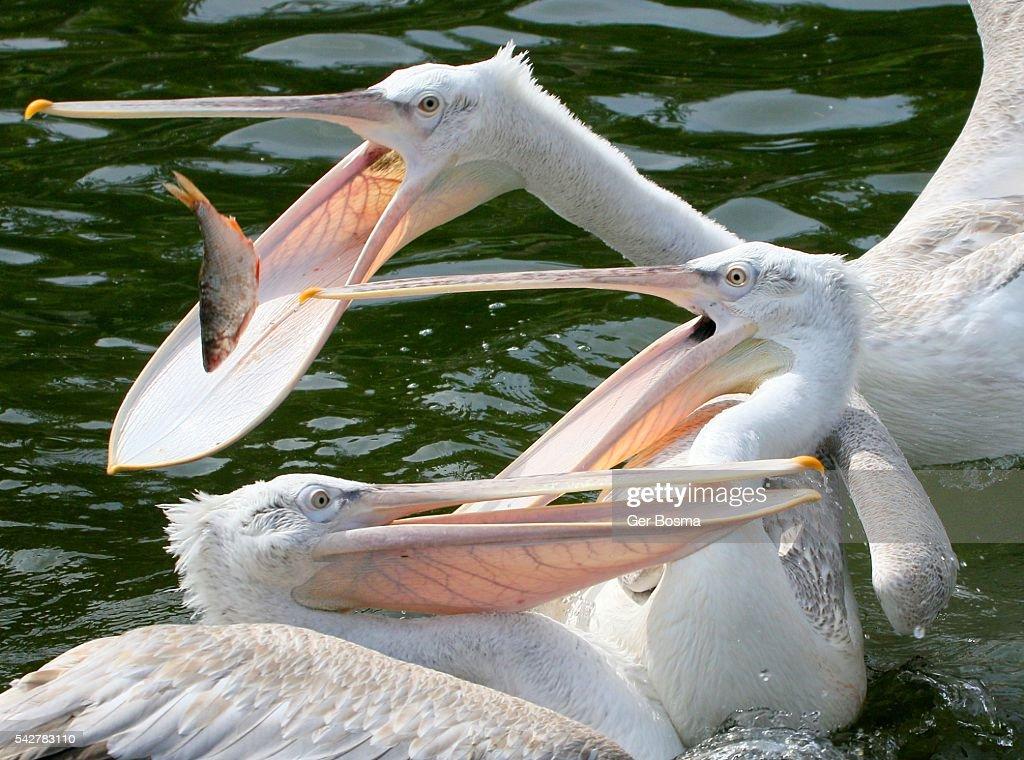 Pelican Fishing Frenzy