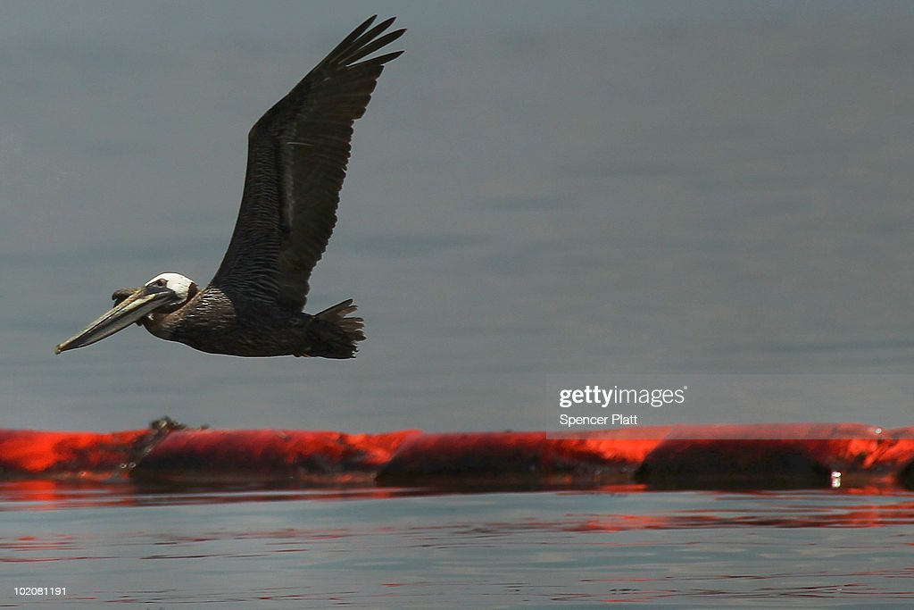 A pelican flies over an oil slick boom off of Bird Island Two June 14, 2010 in Grand Isle, Louisiana. According to the U.S. Fish and Wildlife Service, some 1,282 oiled birds have been captured in time to be treated with the intention of eventually releasing them back into the wild. The BP spill has been called the largest environmental disaster in American history. U.S. government scientists have estimated that the flow rate of oil gushing out of a ruptured Gulf of Mexico oil well may be as high 40,000 barrels per day. President Obama will make his fourth trip to the Gulf on Monday.