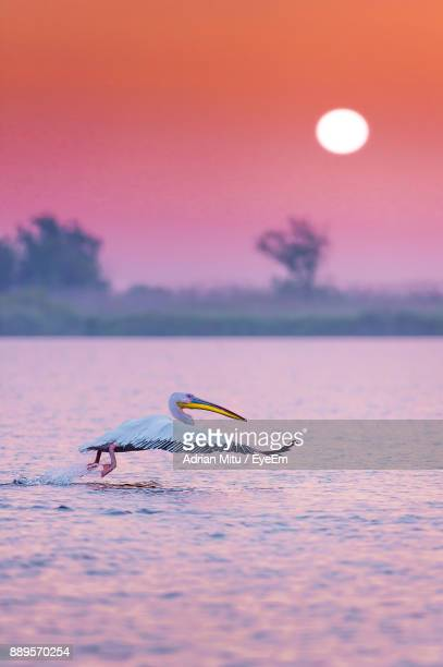Pelican Flying Over Lake During Sunset