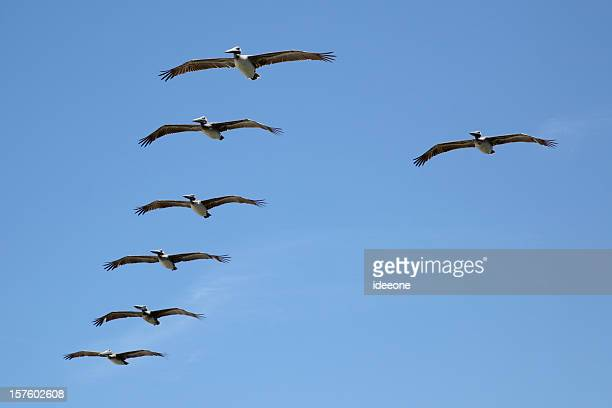 Pelikan-Formation
