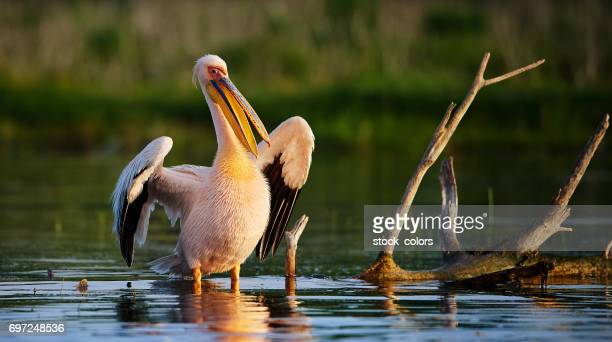 pelican in Danube river