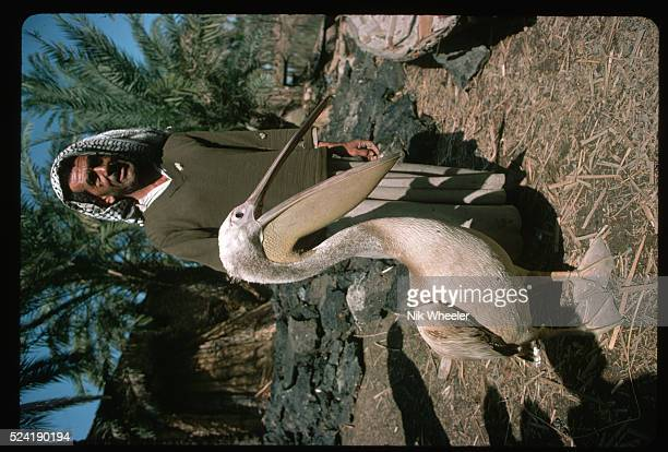 Pelican in Marshes of Iraq