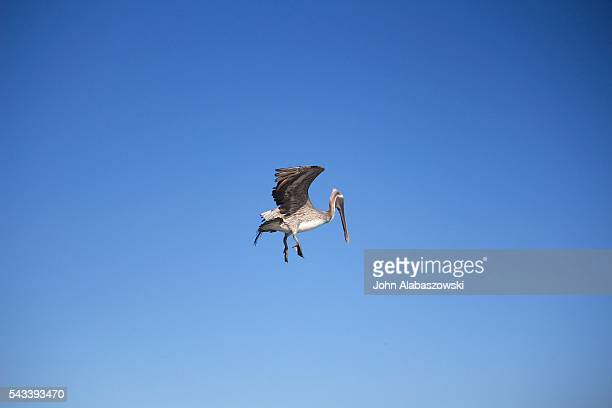Pelican in mid flight