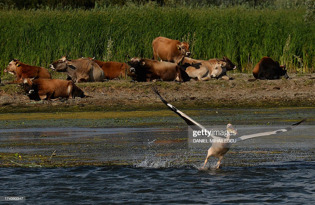 A pelican is pictured in front of cows as they lay on the sandy shore next to Mila 23 village in the heart of the Danube Delta on July 22, 2013. The Danube delta hosts over 300 species of birds as well as 45 freshwater fish species in its numerous lakes and marshes.
