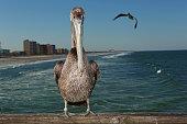Pelican looking at camera