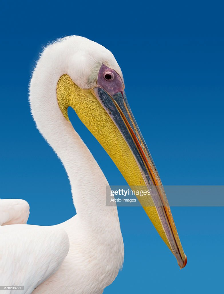 Pelican, Namibia, Africa