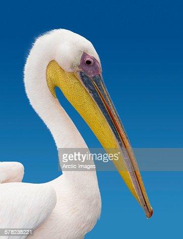 Pelican, Namibia, Africa