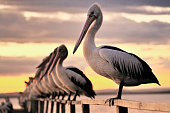 A Pelican stands on the rail of a jetty against a yelloe sunset sky with the rest of his squadron.