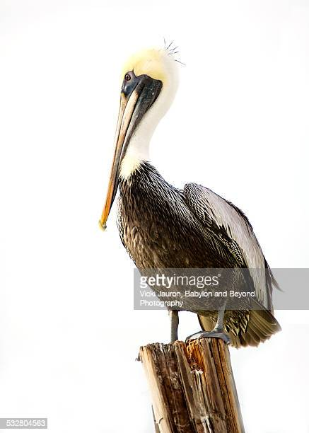 Pelican on post with spiky hair