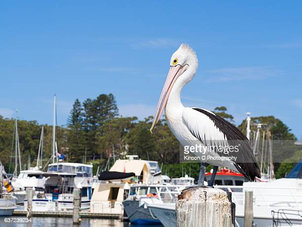 Pelican Perching on Pylon