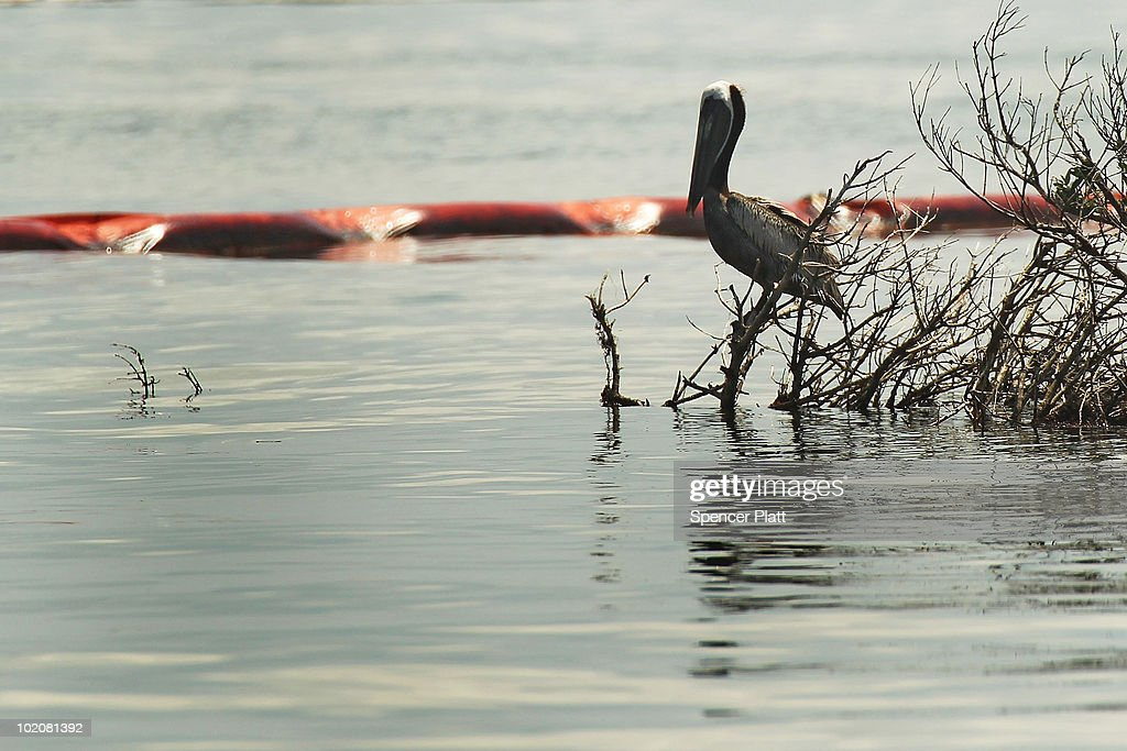 A pelican rest near an oil slick boom off Bird Island Two June 14, 2010 in Grand Isle, Louisiana. According to the U.S. Fish and Wildlife Service, some 1,282 oiled birds have been captured in time to be treated with the intention of eventually releasing them back into the wild. The BP spill has been called the largest environmental disaster in American history. U.S. government scientists have estimated that the flow rate of oil gushing out of a ruptured Gulf of Mexico oil well may be as high 40,000 barrels per day. President Obama will make his fourth trip to the Gulf on Monday.