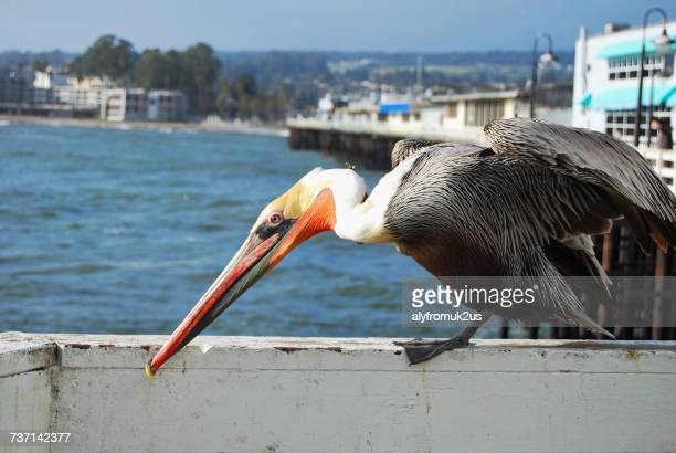Pelican sitting on pier, Santa Cruz, California, America, USA