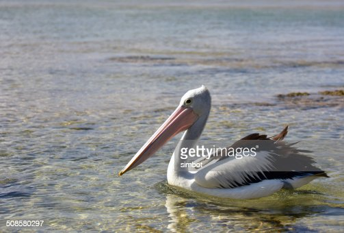 Pelican Swimming at The Entrance NSW : Stockfoto
