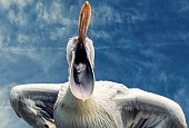 pelican with open beak against the blue sky