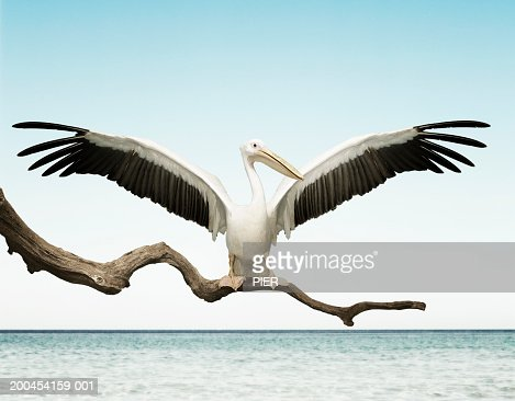 Pelican with wings outstretched on branch (digital composite)