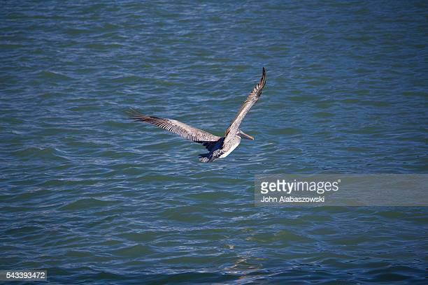 Pelican with wings spread in flight