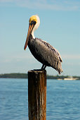 A Pelican stands watch over a boat dock