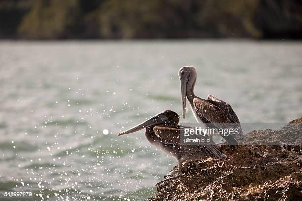 Pelicano resting on Rocks Pelecanus occidentalis Los Haitises National Park Dominican Republic