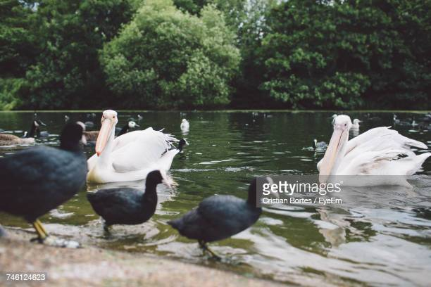 Pelicans And Coots Swimming On Lake Against Trees At St James Park