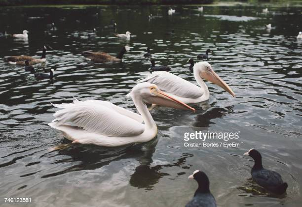 Pelicans And Coots Swimming On Lake At St James Park