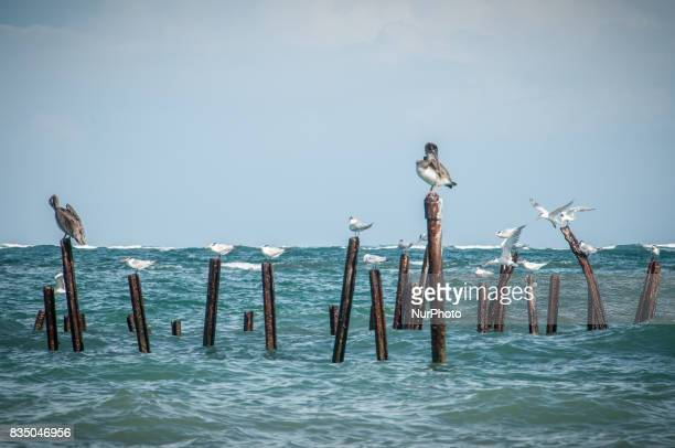 Pelicans and seagulls perch on wooden poles in the Caribbean sea in Cahuita National Park Costa Rica on 17 November 2011